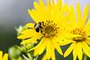 DSC_6467 bee on yellow comp (dllarson2009) Tags: kansas bakerwetlands