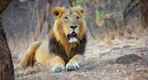 Asiatic Lion: The Boss. The ruler of Gir Forests. Gujarat. India