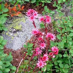 joubarbe, lichen et myrtilliers (b.four) Tags: ruby3