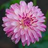 Pink (sunrisesoup) Tags: dahlia seattle wa usa volunteerpark displaygarden rain sunrise