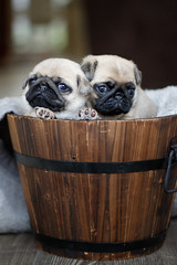 How To Grow A Pug (Shooting Ben) Tags: pug puppies young babies cute adorable bucket basket wood wooden natural face paws eyes dogs pets