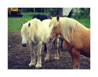 De beau chevaux
