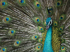 Indian Peafowl (ChongBT) Tags: nature animal birds bird captive park kualalumpur avian free flying aviary green peafowl pavo muticus displaying spread tail eyes adult male
