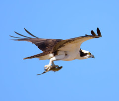 Osprey flying with fish (Alan Shlemon) Tags: bird birding wildlife wildlifephotography raptor westpointlake georgia osprey