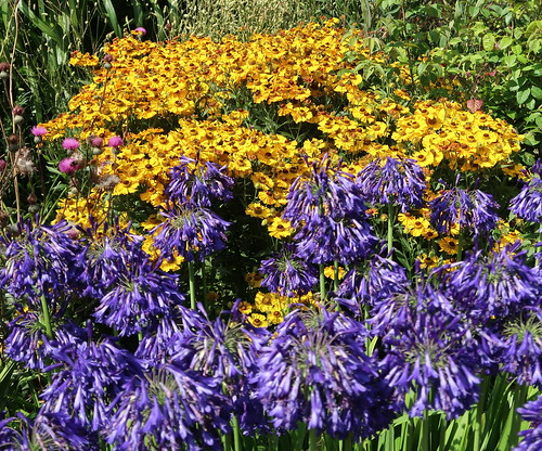 Helenium and agapanthus