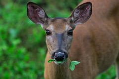 Clover (Explored 8-19-2017 #220) (Jenna.Lynn.Photography) Tags: animal deer momma mom doe clover venison grass staring looking face facing eyes nose ears cute nature country outdoors outside green portrait summer macro orange closeup adorable new food eating whiskers
