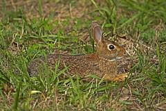Flat Bunny (Marietta Dooley) Tags: bunnies rabbit rabbits perspective landscape pennsylvania pennypack canon grass pennsylvaniawildlife easterncottontail pennypackecologicalrestorationtrust