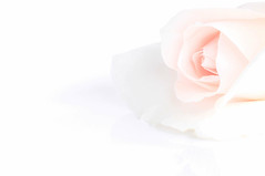 Just a whisper... (judi may) Tags: macromonday macro macromondays highkey rose rosebud flower pastel white whitebackground negativespace pink palepink justawhisper lessismore less simplicity simple minimal minimalism soft reflection canon7d