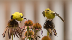 Pssssssst ... Stop Eating ... We're Being Watched (Ken Krach Photography) Tags: goldfinch