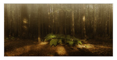Enchanted (scottfitzgerald3) Tags: astounding image daarklands forest trees mist redwoods newzealand