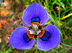 PEACOCK IRIS of MANY COLOURS (Lani Elliott) Tags: nature naturephotography lanielliott flower flowers iris peacockiris pretty moraea moraeavillosa royalbotanicalgardens hobart macro macrounlimited close closeup upclose purple mauve color colour colourful garden gardens fantastic beautiful wow gorgeous incredible excellent
