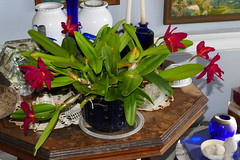 Cattlianthe Jewel Box 'Scheherezade' am-aos hybrid orchid (nolehace) Tags: cattlianthe jewel box sheherazade hybrid orchid 717 flower bloom plant summer nolehace sanfrancisco fz1000