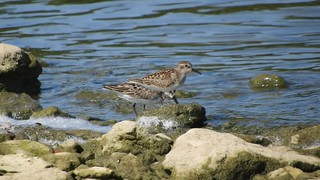 Semipalmated and Least Sandpiper_N8808