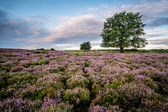 Photo of Field of Heather At Roydon Common