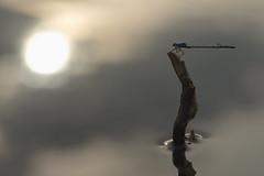 Reflections (Stefan Zwi.) Tags: libelle damselfly insekt insect macro makro bluedamselfly gemeinebecherjungfer sigma105mm sun light sonne licht reflection reflexion ngc npc
