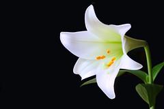 white lily (HansHolt) Tags: lily lilium lys lis lilie lelie easterlily liliumcandidum flower bloem white wit petals bloemblaadjes stamen meeldraad yellow geel pistil stamper macro hera zeus hercules milk chastity virtue purity innocence virgin mary death canon 6d 100mm canoneos6d canonef100mmf28macrousm