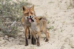 Wanna play, mum? (Ron Winkler nature) Tags: vulpes fox mammal netherlands zoogdier vos nederland wildlife canon 100400ii nature