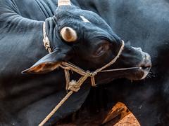 The bull (Sadot Arefin) Tags: cow itching bull clear sacrifice tight rope struggle faceofbull bangladesh dhaka