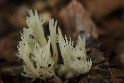 White Coral Fungus - Clavulina coralloides