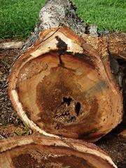 Acacia confusa (Formosan koa): Basal rot and vascular necrosis (Scot Nelson) Tags: acacia confusa formosan koa basal rot stem vascular necrosis