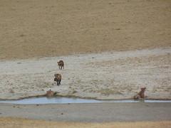DSC00389 (francy_lioness) Tags: safari jeep animals animali ippopotami leone savana gnu elefante iena pumba tanzaniasafari ngorongorocratere gazzella antilope leonessa lioness facocero