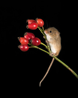 Harvest mouse and rosehips