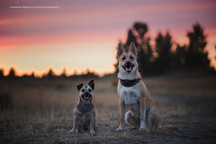 Pip and Pop Sunset (ArmanWerthPhotography) Tags: armanwerthphotography dogs sunset washington northwest