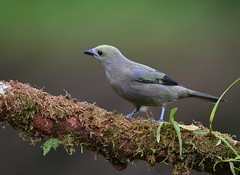 Palm Tanager (anacm.silva) Tags: palmtanager tanager ave bird wild wildlife nature natureza naturaleza birds aves bocatapada costarica thraupispalmarum coth5