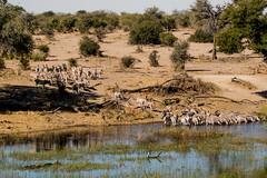 Zebra Migration at Leroo La Tau, Botswana (donnatopham) Tags: zebras botswana laroolatau