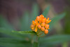 Butterfly Weed (Eastlake) Tags: asclepiastuberosal butterflymilkweed butterflyweed chiggerflower orangemilkweed pleurisyroot