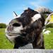 Happy+goat