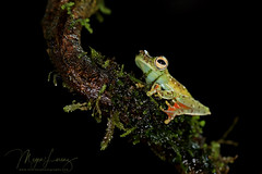 Fancy Feet (Megan Lorenz) Tags: redwebbedtreefrog treefrog frog amphibian macro nature wildlife wild wildanimals nocturnal costarica travel 2016 mlorenz meganlorenz