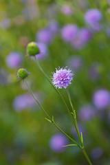Scabiosa (mclcbooks) Tags: flower flowers floral denverbotanicgardens colorado scabiosa