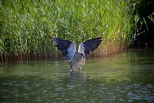 Ganso do Egipto (Egyptian goose)