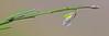 CAE005307a (jerryoldenettel) Tags: 170907 2017 broommilkwort fabales nm nm506122mileseastofitsjunctionwithus54 oteroco polygala polygalascorpioides polygalaceae rosids wildflower flower milkwort
