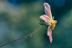 Waiting (shawn›raisin d+p) Tags: 100mm canon6d dahlia plant shawnwhite beauty bokeh enchanting floral flower garden hope nostalgia primelens reflective reminisce serene serenity summer ciliauaeron wales unitedkingdom gb