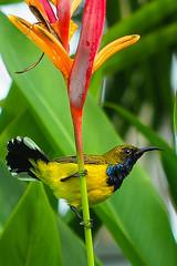 Olive-backed Sunbird (elenaleong) Tags: olivebackedsunbird nature commonbird elenaleong urbanbird malesunbird yellowbelliedsunbird gardensbythebay naturepark marinabay wlildlife