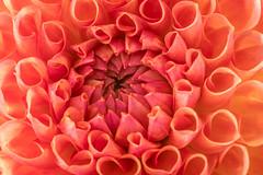 _DSF3372 (carolynmehran) Tags: flower flowers fleur dahlia dahlias outdoors nature macro macroflower pink orange day daytime flora