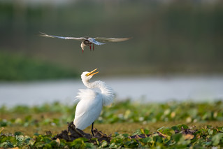 Whiskered Tern and Intermediate Egret