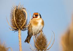 Goldfinch (Carduelis carduelis) (Jud's Photography) Tags: nature wildlife goldfinch cardueliscarduelis framptonmarsh uk finch