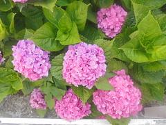 207 (en-ri) Tags: ortensie cespuglio sony sonysti rosa verde