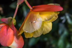 Beautiful Begonia's.... (Photo_stream_this) Tags: begonia flower water droplet matlock bath
