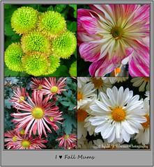 I ♥ Fall Mums (M.J.Woerner) Tags: chrysanthemum mums asteraceae november chrysanths autumcolors autumflower fallmums