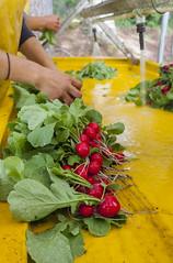 Radishes (CSFS at UBC Farm) Tags: radish ubc farm vegetable harvest 2016