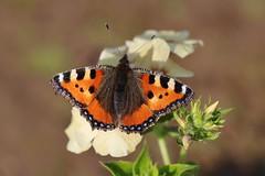 Butterfly (LuckyMeyer) Tags: insekt makro garten sommer orange kleiner fuchs flügel fly garden summer butterfly