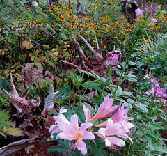 Pretty in pink (Mulch Obliged) Tags: cleome rudebeckia nakedlady surpriselily