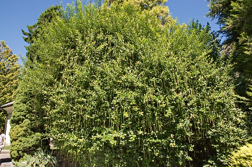 Itea ilicifolia