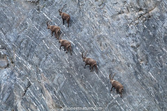 Bouquetins (fauneetnature) Tags: bouquetin bouquetins ibex animaux animals animal animalier animauxmontagne mountainanimals montagne mountain maurienne