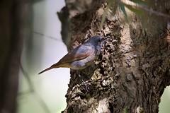 Rabirruivo (Black Redstart) (Carlos Santos - Alapraia) Tags: ngc ourplanet animalplanet canon nature natureza wonderfulworld highqualityanimals rabiruivo blackredstart