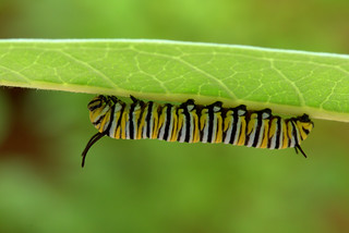 Explore #295 on 8/15/17  Monarch Butterfly Larva